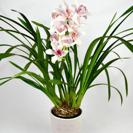 Orchidée cymbidium blanc